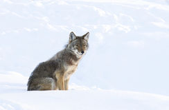 Coyote sitting in winter snow. Coyote sitting in the winter snow Stock Photography