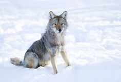 Coyote sitting in winter snow. Coyote sitting in the winter snow Royalty Free Stock Photo