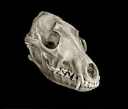Coyote Skull Royalty Free Stock Photo