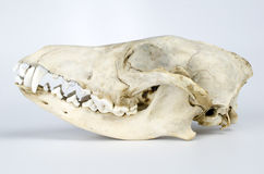 Coyote Skull Taxidermy Stock Image