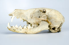 Coyote Skull Taxidermy Stock Photography