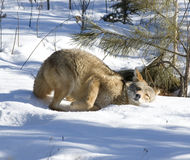 Coyote in snaow. Coyote rubbing himself in snow. Northern Minnesota Royalty Free Stock Photo