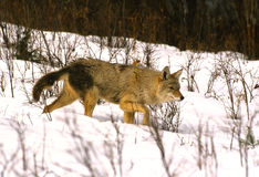 Coyote in Snow Stock Photography