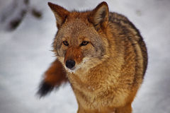 Coyote in snow. Closeup of a coyote in a snowy environment Royalty Free Stock Photo