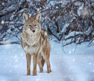 A coyote on a snow covered pond in the middle of winter royalty free stock photo