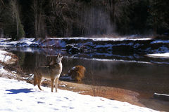 Coyote in snow howling by river (Canis latrans), California, Yos Royalty Free Stock Photography