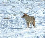 Coyote in snow hunting Stock Photo