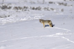 Coyote in a snow Royalty Free Stock Image