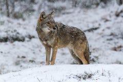 Coyote solitaire dans un paysage d'hiver Images libres de droits