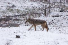 Coyote solitaire dans un paysage d'hiver Photos libres de droits