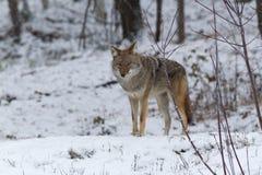 Coyote solitario en un paisaje del invierno Imágenes de archivo libres de regalías