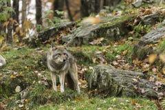 Coyote solitario en una caída, ambiente del bosque fotografía de archivo libre de regalías