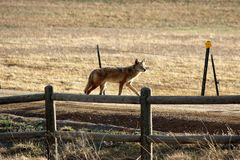 Coyote. A solitary coyote walking across a dirt road near a large field at sunset Royalty Free Stock Images