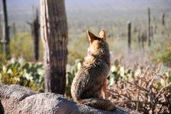 Coyote solo Fotografie Stock