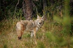 Coyote solo Fotografia Stock Libera da Diritti