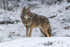 Coyote solo in un paesaggio di inverno Immagini Stock Libere da Diritti