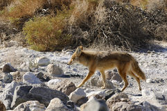 Coyote - songdog Stock Photography