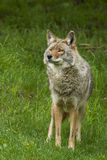 Coyote in spring Royalty Free Stock Photo