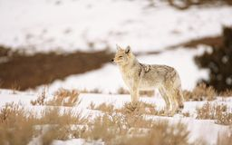 Coyote in the Spring Snows of Yellowstone. Coyote in the spring snows and sagebrush of Yellowstone National Park Stock Images