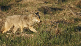 Coyote stalk. Ing in the wild in early spring Royalty Free Stock Photos