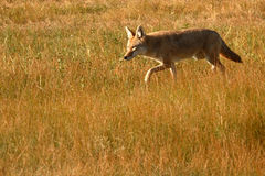 Coyote Stalking Royalty Free Stock Photo