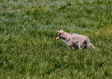 Coyote Stalking Prey. Coyote intently watching its prey Royalty Free Stock Image