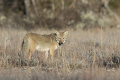 Coyote standing in deep grass and sagebrush in profile pose Royalty Free Stock Photo