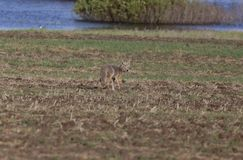 Coyote standing in field Stock Photos