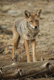 Coyote standing near a log in Yosemite National Park. Royalty Free Stock Images
