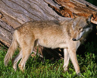 Coyote. Standing near an old log Royalty Free Stock Photography