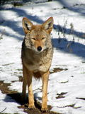 Coyote standing in snow. In the zoo Royalty Free Stock Photos