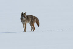 Coyote standing on the snow Royalty Free Stock Photos