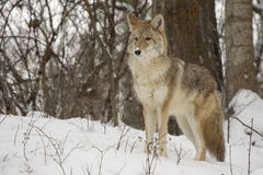 Coyote standing in snow with deciduous trees in background Stock Image