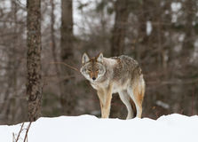Coyote standing in the snow Stock Images