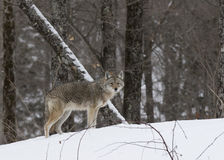 Coyote standing in the snow Stock Image