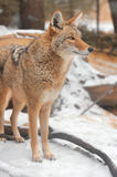 Coyote Stands in the Snow Stock Image