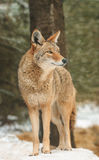 Coyote Stands in Snow Looking Right Stock Images