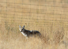 Coyote stands in tall fall grass Royalty Free Stock Photo