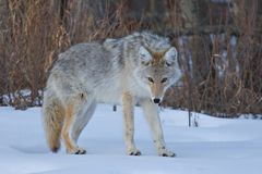 Coyote Stare Royalty Free Stock Photos