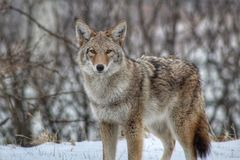 Coyote Stare Off. A coyote off the side of the road giving a fierce stare during the winter stock photo