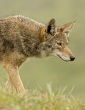 Coyote Stare. Coyote in Pt. Reyes, hunting down a meal Stock Photography
