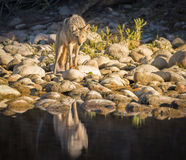 Coyote Staring by River Royalty Free Stock Photo