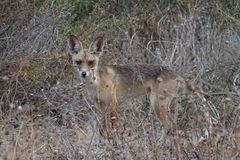 Coyote, steppe wolf, prairie wolf, Israel royalty free stock image