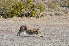 Coyote stretches in the desert Stock Images