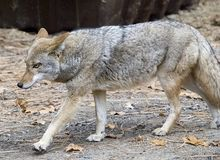 Coyote in stride Royalty Free Stock Photos