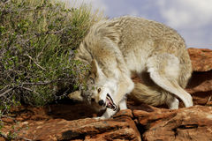 Coyote in Submissive Stance. Coyote crouching on red sandstone ledge displaying submissive behavior Stock Photos