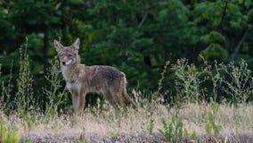 Coyote sul prato fotografia stock