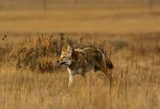 Coyote sull'allarme Fotografia Stock