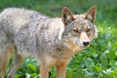 Coyote during summer Royalty Free Stock Photography