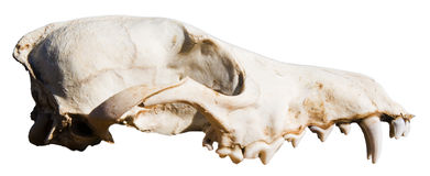 Coyote sun bleached skull bones isolated Royalty Free Stock Images